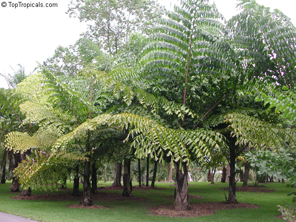 Caryota Gigas Thai Mountain Giant Toptropicals Com