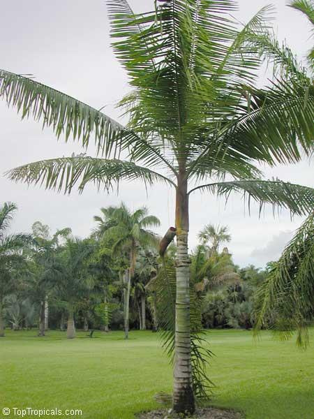 Dypsis Lastelliana Neodypsis Lastelliana Redneck Palm