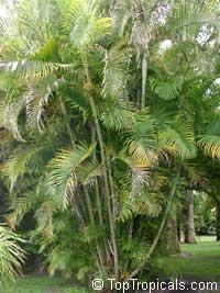 Chrysalidocarpus cabadae, Dypsis cabadae, Cabada Palm  Click to see full-size image