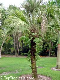 Sabal palmetto, Sabal Palm, Cabbage Palm  Click to see full-size image