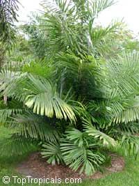 Arenga microcarpa, Arenga Palm  Click to see full-size image