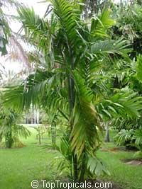 Areca catechu, Areca triandra, Areca Palm, Betel Nut , Bunga, Pinang  Click to see full-size image