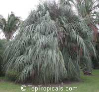 Nannorrhops ritchiana, Mazari Palm  Click to see full-size image