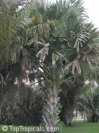 Corypha sp., Dhaka Plant (C. taliera), Gebang Palm  Click to see full-size image