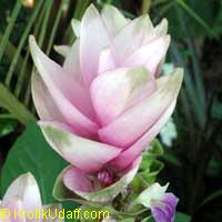 Curcuma alismatifolia Royal Scepter - Pink Siam Tulip