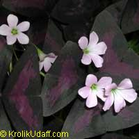 Oxalis triangularis var. purpurea Francis  Click to see full-size image