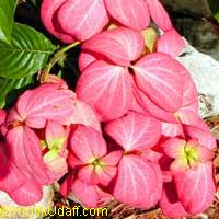 Mussaenda philippica Dona Luz (salmon pink)  Click to see full-size image