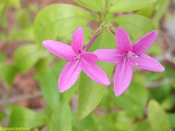 Pseuderanthemum laxiflorum, Shooting Star, Star Flower, Furple False Erantheum, Dazzler Click to