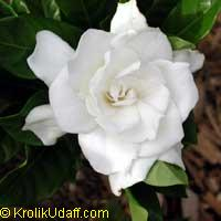 Gardenia August Beauty - grafted
