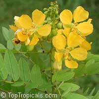 Cassia bahamensis (Senna mexicana) - seeds  Click to see full-size image