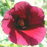 Hibiscus furcellatus, Linden-leaf Rosemallow, Sleepy Hibiscus