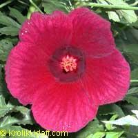 Hibiscus cannabinus, Kenaf, Java Jute Click to see full-size image