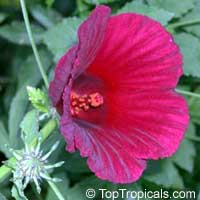 Hibiscus cannabinus (furcellatus) - Salad Hibiscus, Sleepy Hibiscus  Click to see full-size image