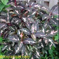 Graptophyllum pictum, Justicia picta, Graptophyllum hortense, Caricature Plant  Click to see full-size image