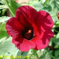 Hibiscus cannabinus, Kenaf - seeds  Click to see full-size image