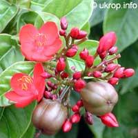 Jatropha integerrima, Jatropha pandurata, Spicy Jatropha, Coral Plant, Peregrina, Physic Nut  Click to see full-size image