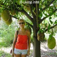 Artocarpus heterophyllus, Artocarpus integrifolius, Jackfruit, Jakfruit, Langka, Nangka, JacaClick to see full-size image