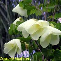 Bauhinia tomentosa - Yellow Orchid Tree  Click to see full-size image