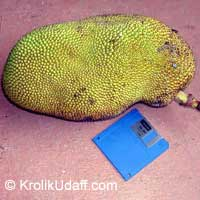 Artocarpus heterophyllus - Jackfruit Lemon Gold, grafted   Click to see full-size image