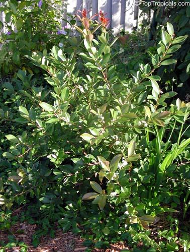 Tropical Guava, Psidium guajava - TopTropicals com