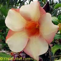 Allamanda violacea Chocolate  Click to see full-size image