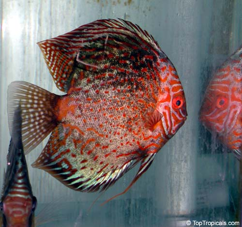 è sicuramente in acquario, ma che bei colori!!! dans animali affascinanti 7121