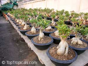 Adenium Hybrids Can Be Multi Grafted With Several Colors Varieties On The Same Plant Swallen Base Will Formed Only When Rod Stock Is Grown