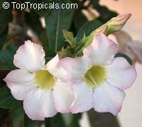 Adenium Elephant White - seeds