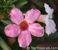 Adenium Baby Pink, Grafted