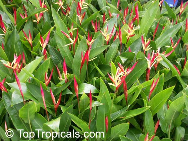 Thailand Heliconias And Gingers Toptropicals Com