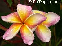 Plumeria Morland, grafted  Click to see full-size image