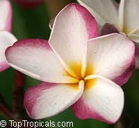 Plumeria Pink Fancy, grafted  Click to see full-size image