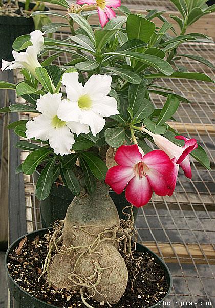 Adenium Obesum Desert Rose Toptropicals Com