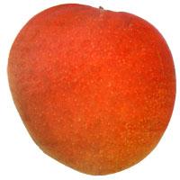 Mangifera indica - San Felipe Mango, Large size, Grafted  Click to see full-size image