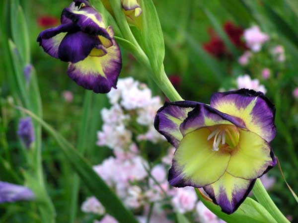 gladiolus meaning, Natural flower