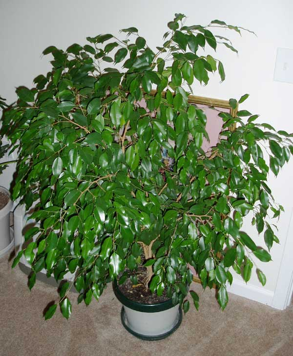 Tropical garden contest 2004 for Ficus planta interior