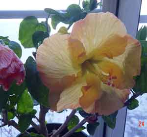 Golden Dust Hibiscus