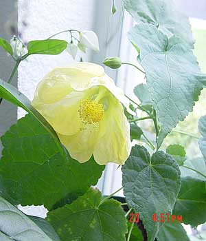 Abutilon 'Moonchimes'