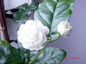 Jasminum Sambac Grand Duke