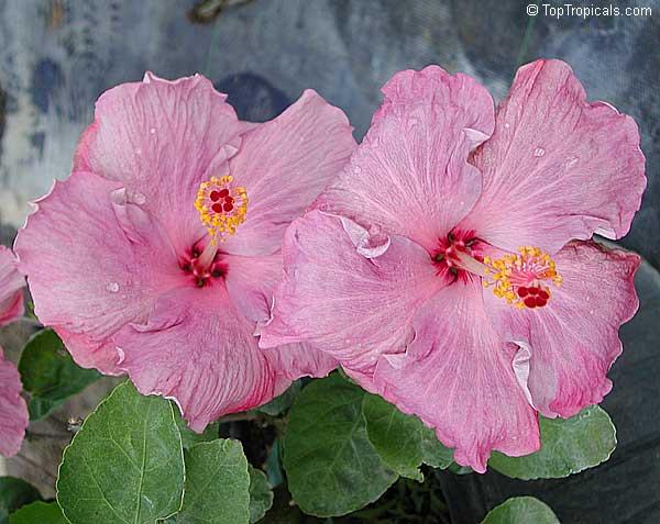 Hibiscus Cultivars Toptropicals Com