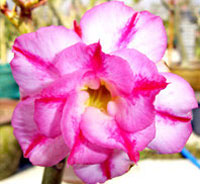 Adenium Amazing Triple, Grafted  Click to see full-size image