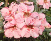 Adenium Aung Kor, GraftedClick to see full-size image