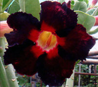 Adenium Black Asia, GraftedClick to see full-size image