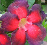Adenium Crape Band (Double Color) - Grafted  Click to see full-size image