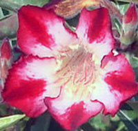 Adenium Red Moonlight, Grafted