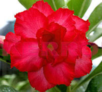 Adenium Valentine Rose, Grafted  Click to see full-size image