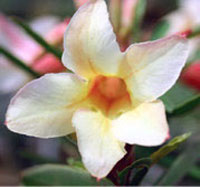 Adenium Yellow Sirimongkol, Grafted  Click to see full-size image
