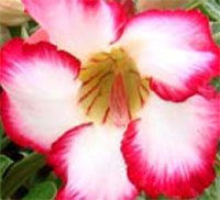 Adenium Polcedon, Grafted  Click to see full-size image