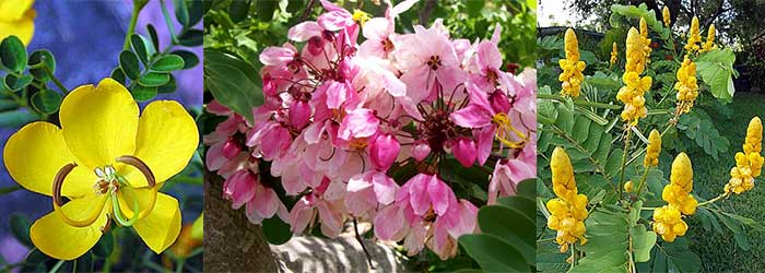Toptropicals rare plants for home and garden this one is one of the most popular flowering trees in the south fast growing and free flowering spectacular long lasting flowers yellow or pink mightylinksfo