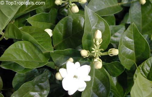 Jasmine Mistery Confusing Varieties Of Jasminum Sambac